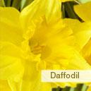 birFlow_daffodil