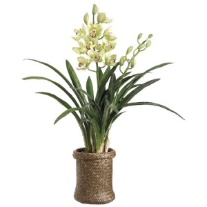 cymbidium-plant