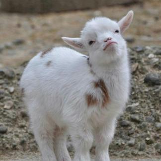 Goats Milk Soap
